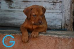 Pitbull Puppy in Trinidad, Cuba