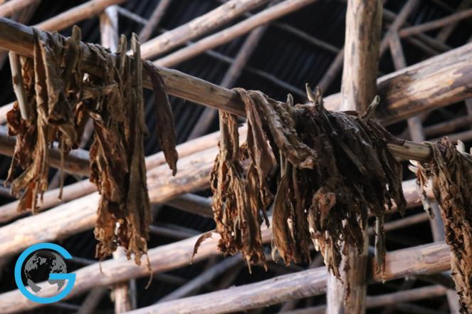 Tobacco Farms in Pinar Del Rio, Cuba
